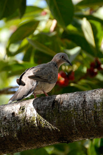 Spotted doves are everywhere on Oahu. I usually see them near my home.