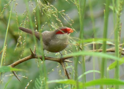 Waxbills are so tiny and cute. I usually see them by the Main Library, Iolani Palace grounds or by Neil S. Blaisdell grassy lawns.