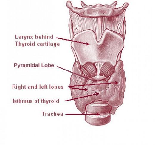 Thyroid, via:wikimedia
