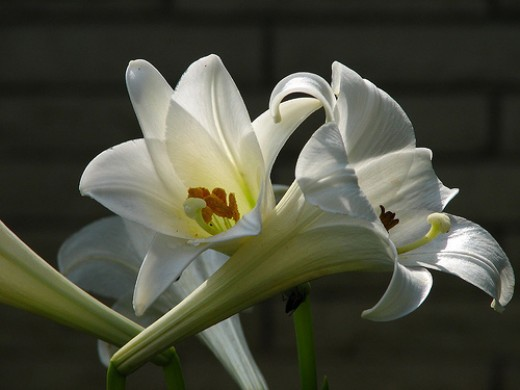 Easter Lilies are highly toxic to cats. Photo by mocheeks on Flickr.
