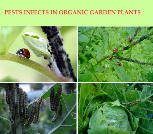 How To Make Homemade Organic Pesticide For Organic Farming