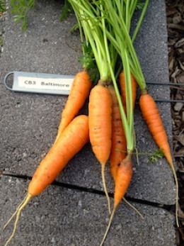 Carrots meant to be small are brighter and sweeter than full size carrots that are harvested when immature.