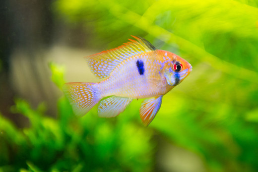 The German Blue Ram is a very popular dwarf cichlid that can be kept in a community tank.