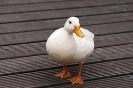 Daisy the Duck