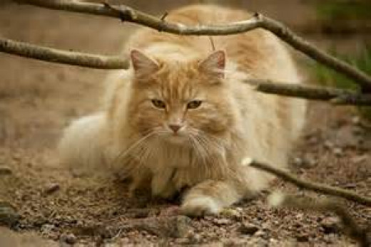 """This baby is known as """"Hercules"""" and my husband and son also call him """"Big Baby."""" He weighs 20# and his paws are as big as the palm of my hand. He is our gentle giant. This cat is about eight years old."""
