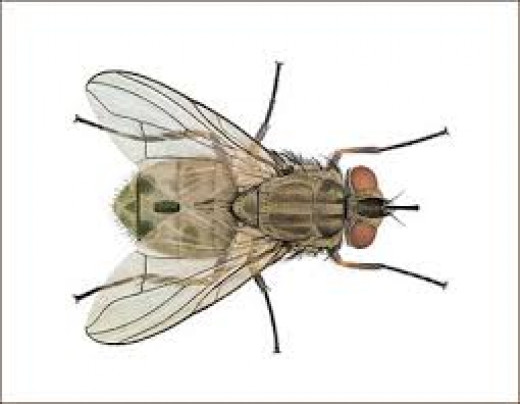 musca-domestica-(the-common- housefly)_jpg