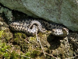 An adder under a rock while sunbathing
