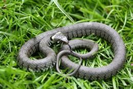 Beautiful photograph of a Grass Snake.