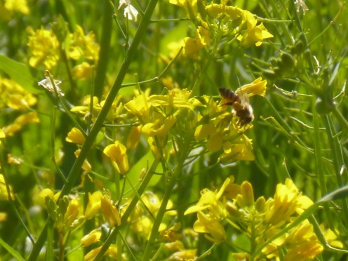 Getting the honey of bees feasting on the nectar from wildflowers you are allergic to may bring some relief