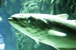 Pike fish underwater