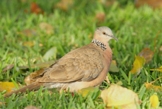 Spotted turttle doves are everywhere on Oahu. I hope you visit this site for owner has seen other birds on Oahu with better camera.