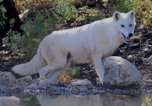 The Ancestral Wolf Guardian Power Spirit Exemplore