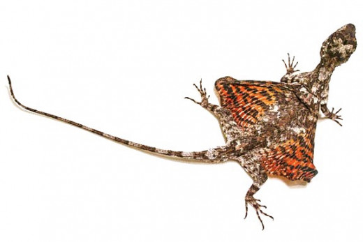 A male flying dragon, or Draco volans