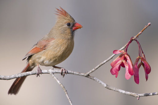 This is a female Northern cardinal I photographed in my yard.