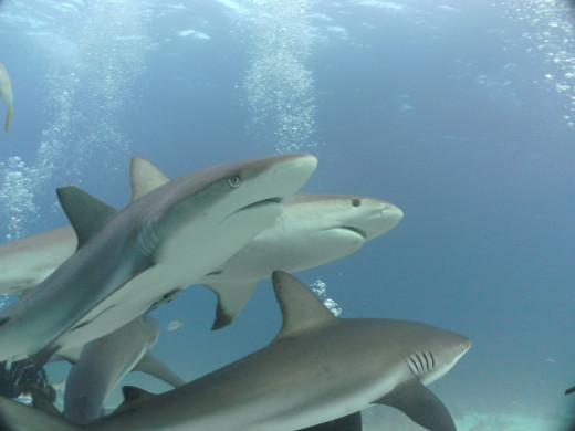 The Main Attraction: Caribbean Reef Sharks