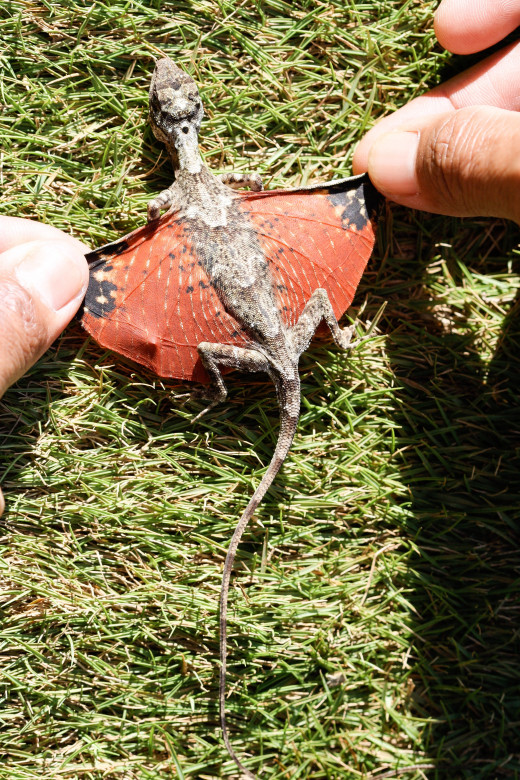 The wings or pantagia of a Draco lizard