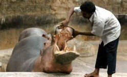 A zoo worker inspects a hippo's teeth as part of his duties at the zoo