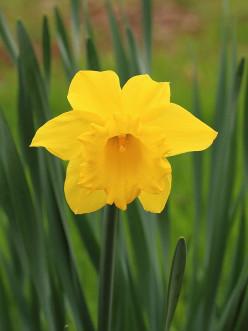 Dangerous Daffodils?