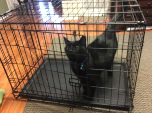 Cat exploring a dog crate