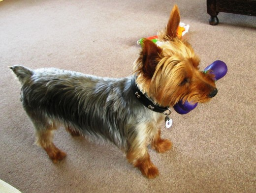 Yorkshire Terrier with a Toy