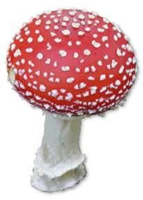 Amaneta - poisonous - do not eat