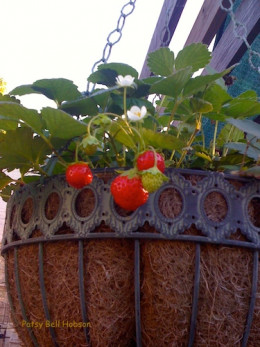Mara des Bois Strawberries produce fruit all summer. The long runners and fruit hanging over the basket is part of the charm of this French sensation.