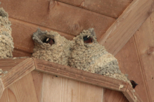 Cliff Swallows build gourd-like nests with entrances at either the top or bottom.