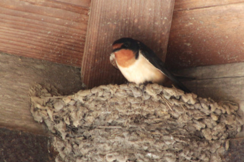 Barn Swallow Nests are bowl shaped contructions. This one looks to have a braided rim.