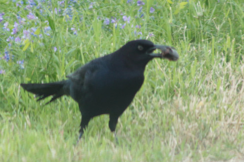 Boat-tailed Grackle with a craw fish