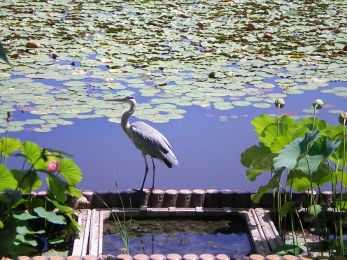A temple pond (c) A. Harrison