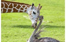 Giraffe and Ostrich Friendship -  Wilma finds out that long purple tongue of Bea's is good for more than just browsing