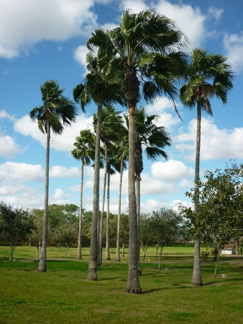 Washington Palms from the Harlingen, Texas