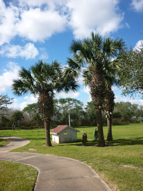 Indigenous Sabal Palmetto Palm of Rio Grande Valley