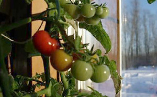Tomatoes grown in the winter indoors can yield some great fruits and vegetables like these tomatoes. It will keep you from having to run to the store and back in those frigid temperatures outside.