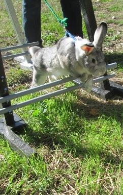 Corban (American Chinchilla X buck) hopping.