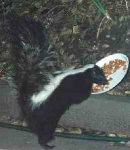 Skunks aren't afraid to help themselves.