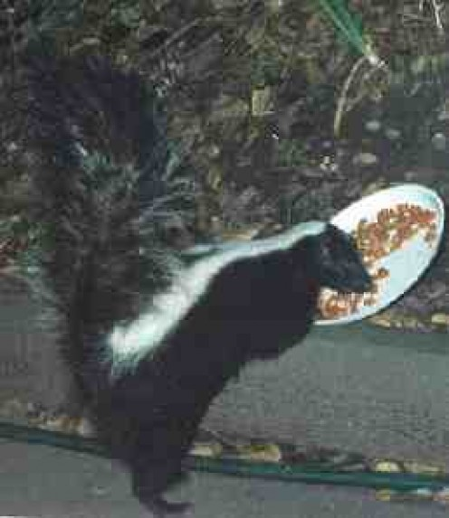 What To Feed Your Pet Skunk
