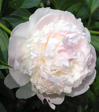 "The Peony - known as the ""Flower of Riches and Honor"" it is a symbol of feminine beauty as well as of love and affection."