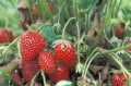 Garden - Growing Strawberries!