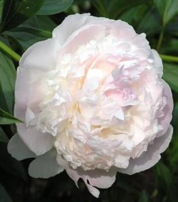 """The Peony - known as the """"Flower of Riches and Honor"""" it is a symbol of feminine beauty as well as of love and affection."""