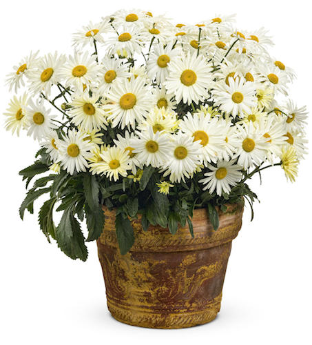 Amazing Daisies™ 'Banana Cream' Shasta Daisy Leucanthemum superbum