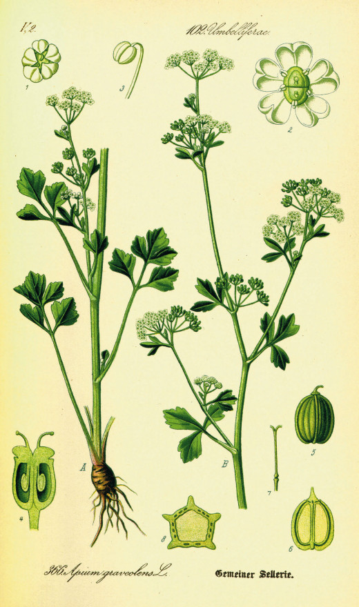 Celery botanical display illustration.
