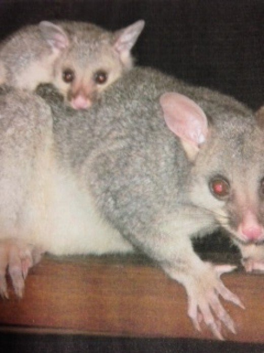 Naughty Possums