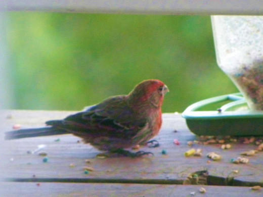 House Finch, Draper, UT