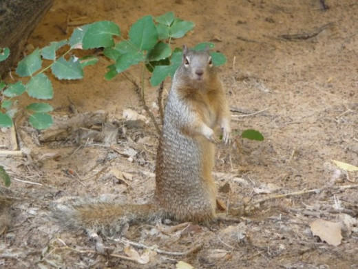 Ground squirrel, Zion's National Park