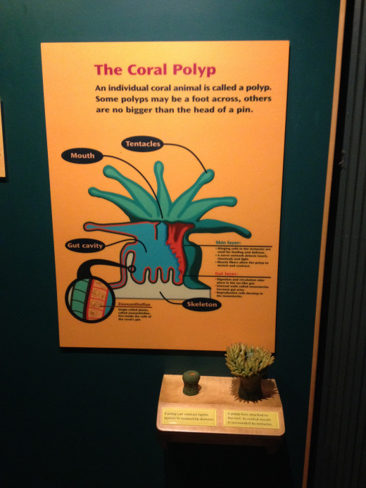 The makeup and development of a coral polyp.