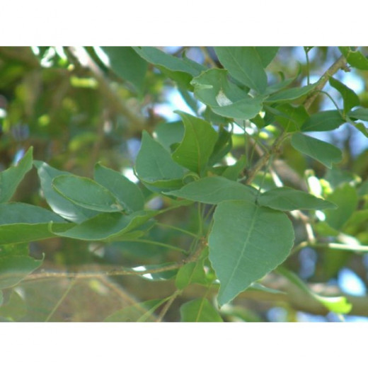 Bael Plant