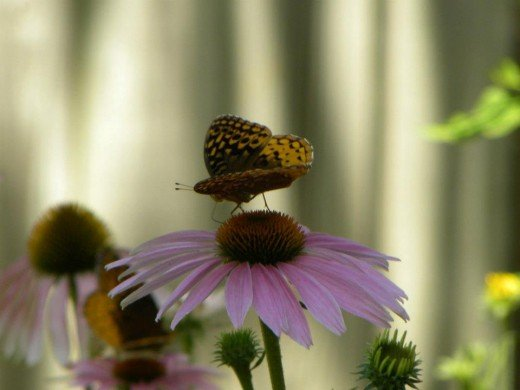 Kneeling slowly, so as to not disturb the Lady Butterfly on the Echinacea bloom in Hannibal, MO.