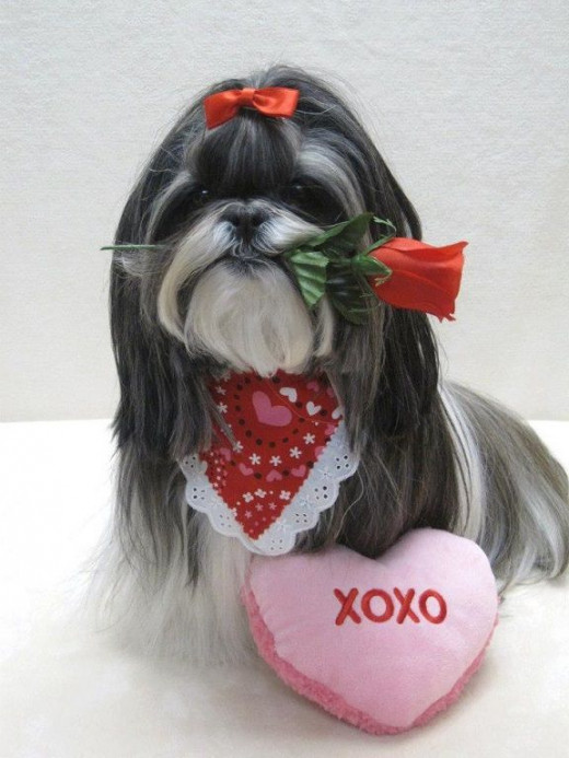 Shih Tzu dressed up for Valentine's Day