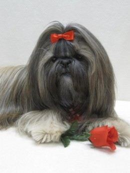 Shih Tzu and a Rose